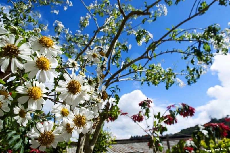 So sánh hoa Dã Quỳ trắng và hoa Xuyến Chi