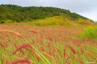 Phát hiện đồi cỏ lau hồng mới toanh ở Đức Trọng
