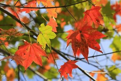 Đà Lạt lọt vào top 7 vùng có rừng lá phong đẹp nhất nước