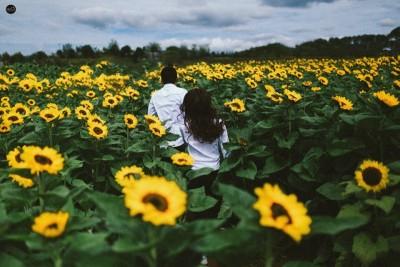 Trang trại Đà Lạt Milk lại rực rỡ mùa hoa hướng dương