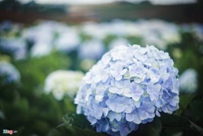 Chưa bao giờ hết Hot Cánh đồng hoa cẩm tú cầu tuyệt đẹp ở ĐL