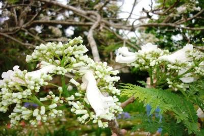 Hoa Phượng trắng duy nhất ở Việt Nam.