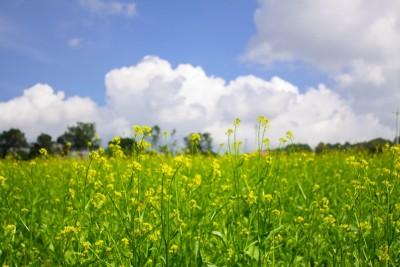 Phát hiện vườn hoa cải vàng tuyệt đẹp đang nở rộ tại Đà Lạt