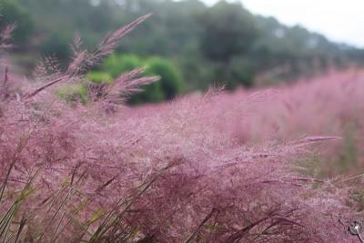 Cỏ hồng - bản tình ca mùa thu