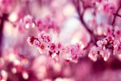 Lần đầu tiên Đà Nẵng tổ chức lễ hội hoa Anh đào