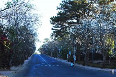 Tháng 12 - Đà Lạt vào mùa hoa ban trắng