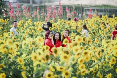 Cuối cùng thì Đà Nẵng cũng có 'cánh đồng hoa Hướng Dương'