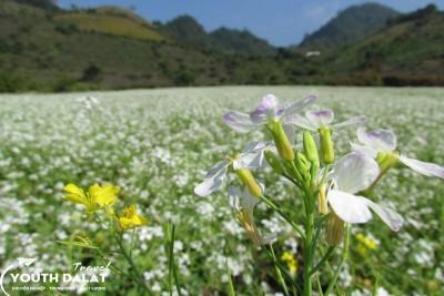 Đà Lạt mùa hoa Cải trắng