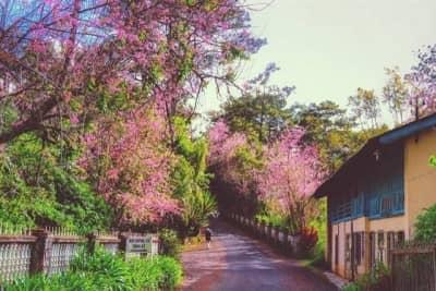 Lễ hội hoa anh đào Đà Lạt 2018
