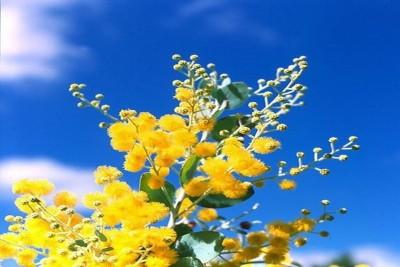 Mimosa, loài hoa của mùa xuân Đà Lạt