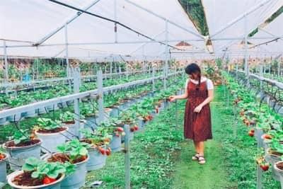 Chia sẻ kinh nghiệm tham quan và hái dâu tại vườn Đà Lạt