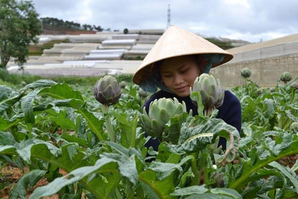 nông dân trồng atiso ở Đà Lạt