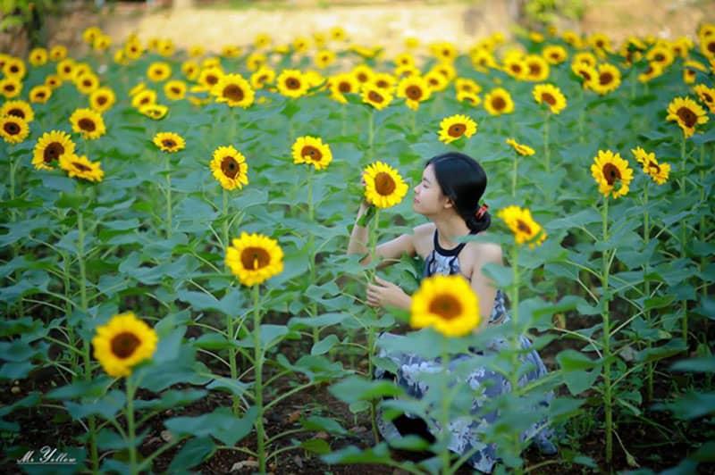 đồi hoa mặt trời ở đồng nai