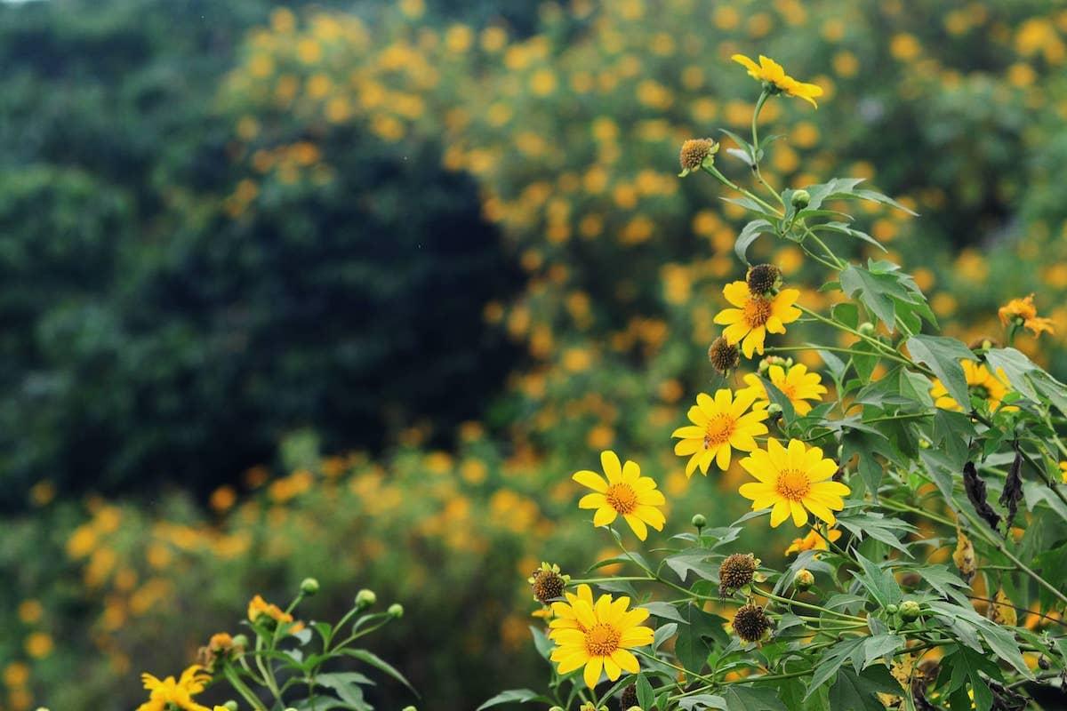 Mùa hoa dã quỳ Đà Lạt