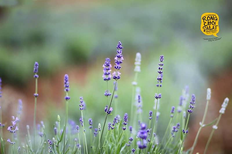 Kết quả hình ảnh cho cánh đồng lavender đà lạt